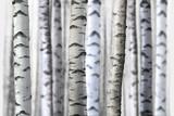 seamless birch trees - 91600145