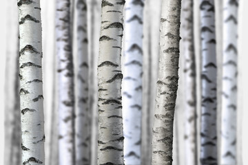 Fototapeta Brzoza seamless birch trees