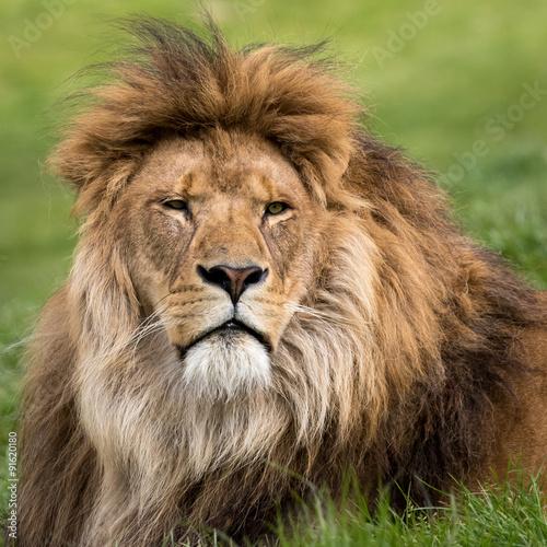 Fotobehang Leeuw Head shot of male lion lying in grass.