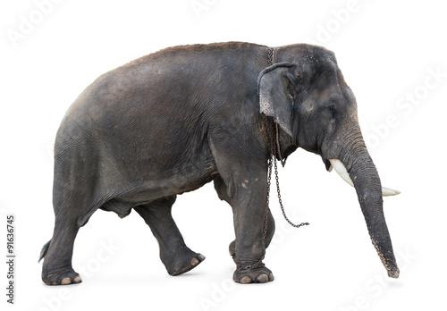 Fotobehang Olifant Elephant walking on a white background