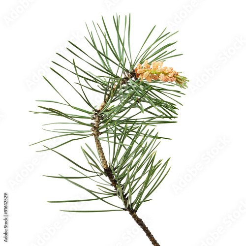 Fotografia, Obraz  Pinus sylvestris branch