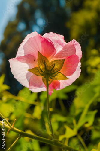 Canvas Prints Poppy Single pink flower against sunset light feeling lonely, partiall