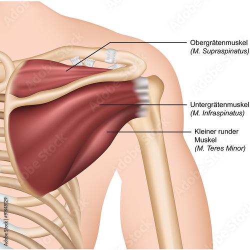 Anatomie Rotatorenmanschette, Schulter hinten – kaufen Sie diese ...