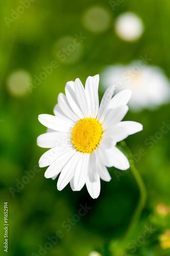 Staande foto Lente flower of chamomile on a green background