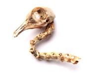 Bird Skull Isolated