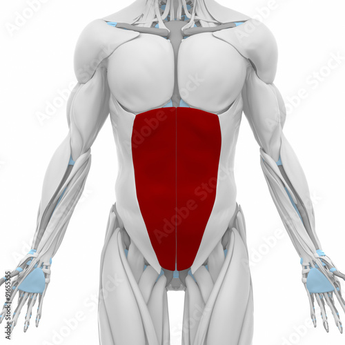 external abdominal oblique - Muscles anatomy map - Buy this stock ...