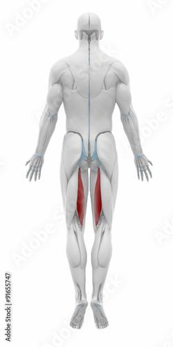semitendinosus - Muscles anatomy map - Buy this stock illustration ...