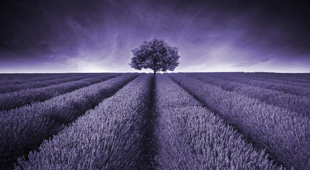FototapetaBeautiful image of lavender field landscape with single tree ton