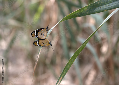 Fotografie, Obraz  mating of danaus