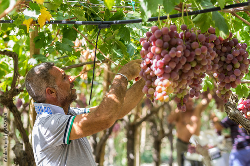 Time to harvest in Sicily  This farmer is picking black dessert