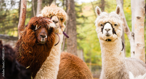 Domestic Llama Group Farm Livestock Animals