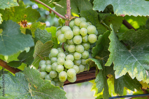 Closeup to White Wine Grapes at a Vineyard Poster