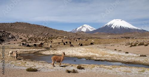 Poster Lama Lamas devant les volcans Pomerape et Parinacota au Chili