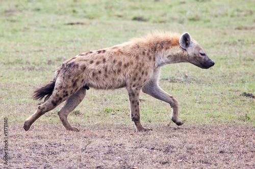 In de dag Hyena Spotted Hyena in Serengeti National park, Tanzania, East Africa
