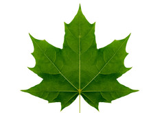 Autumn Leaf  Maple  On A White Background Isolated With Clipping Path.  Nature.  Closeup With No Shadows. Macro. Indian Summer. Green. For Design Of Cards And Web Sites About Nature.