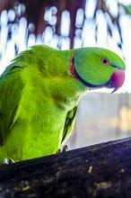 Parrot, Closeup. Male. Exotic...