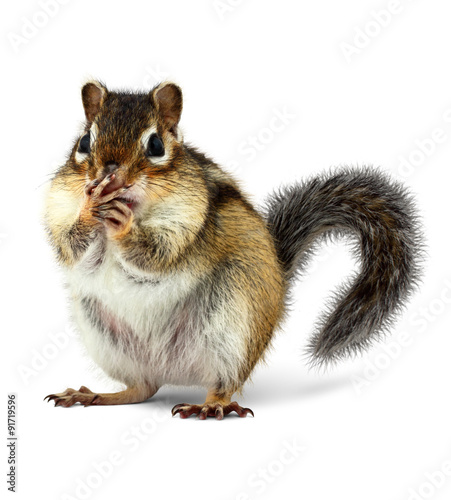 surprised squirrel closes mouth with paws, isolated on white