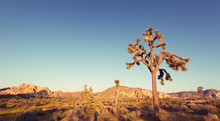 Joshua Tree National Park At Sunset With Vintage Effect