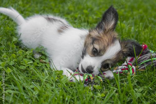 Fotografia, Obraz  cute papillon puppy in the garden