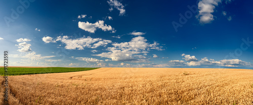 Photo Stands Night blue Golden wheat fields before harvest