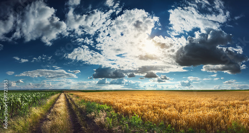 Wheat and corn fields before harvest Tablou Canvas