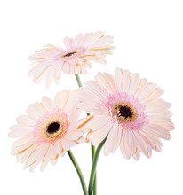 Pink Gerber Daisies Isolated