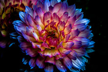 Dahlia At Night