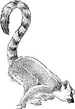 Curious Lemur