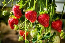 Ripe And Unripe Strawberries.
