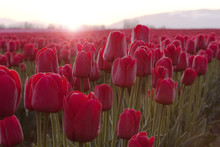 Red Tulips At Sunrise