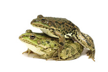Two Mating Frogs On A White Ba...