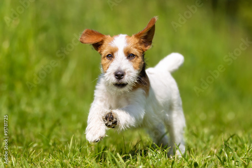 Poster Chien Jack Russell Terrier dog outdoors on grass