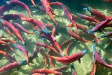 Kokanee Salmon (Oncorhynchus Nerka) In Its Spawning Colors, Utah