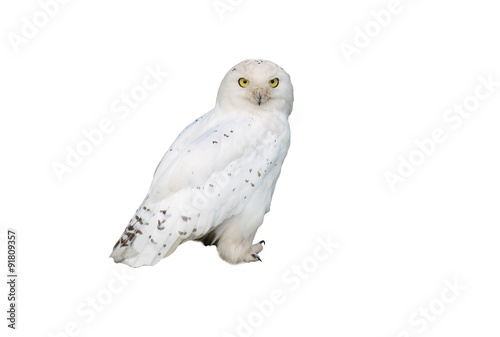 La pose en embrasure Chouette white owl