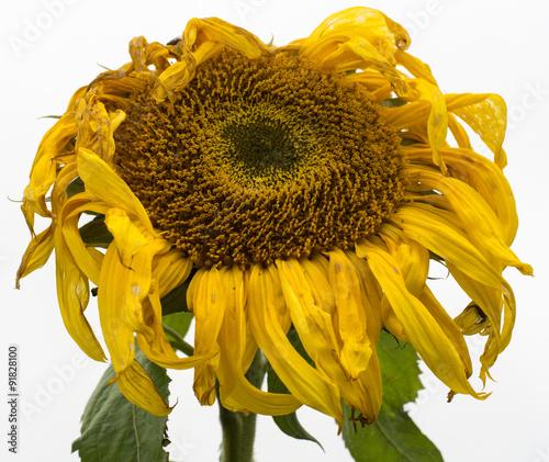 Valokuva  verwelkte Sonnenblume