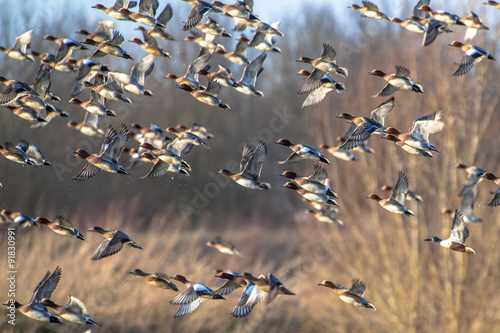 Poster Chasse Flying Flock of Migratory Eurasian wigeon (Anas penelope)