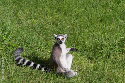 Fényképezés  985 - lemur