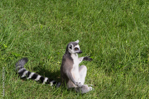 Photo  986 - lemur