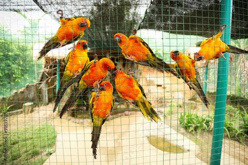 Vászonkép Sun conure parrots in aviary