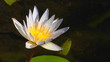 The white petals of a water lily extend from the yellow center.