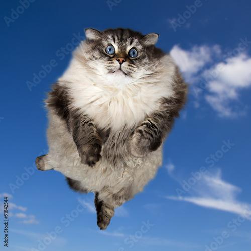 gruby-smieszny-syberyjski-kot-lata-w-chmurach
