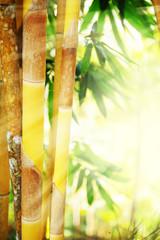 Fototapeta Bambus bamboo forest and sunlight