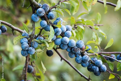 Photo  Sloe fruits