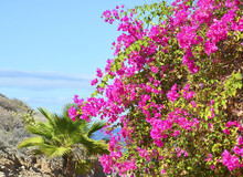 Blooming Bougainvillea And Palm Trees Against Blue Sky.