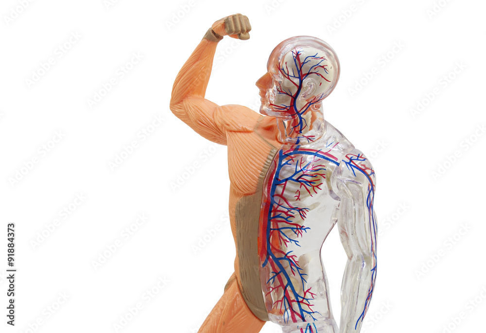 Isolated Human Anatomy Model Isolated Human Body Model Toy Foto