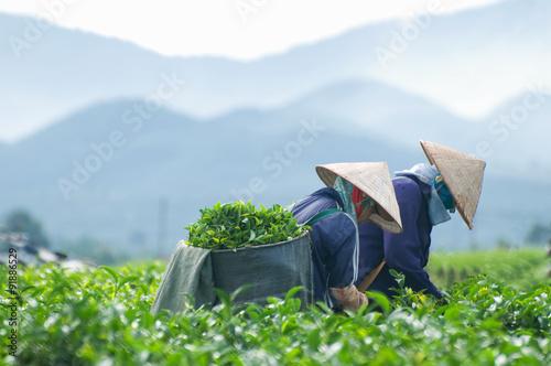 Foto  Workers are harvesting tea in plantation in Dalat, Vietnam