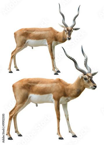 Poster Antilope Blackbuck isolated