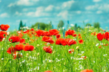 FototapetaField of bright red corn poppy flowers in summer