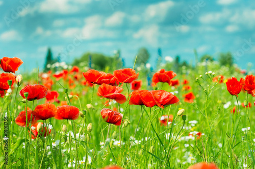Field of bright red corn poppy flowers in summer - 91911755