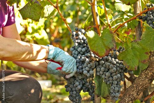 Fotografía  Cortar un racimo de uvas, vendimia